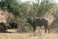 Kenya östliga Tsavo - buffel i deras reserv royaltyfri foto