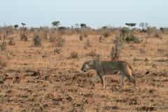 Kenya östliga Tsavo - lejon i deras reserv arkivbilder