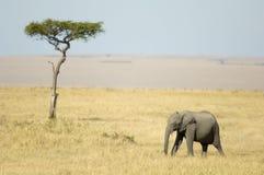 Kenya afrykańskiej Mara masajów słonia Fotografia Royalty Free
