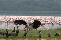 Kenya birds. In national park Royalty Free Stock Photography