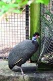 Kenya crested guineafowl Stock Image