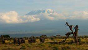 Kenya. Elephants kilimanjaro AMBOSELI NATIONAL PARK Royalty Free Stock Photo