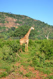 Kenya giraffe Royalty Free Stock Photo