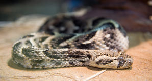 Kenya horned viper Stock Photo