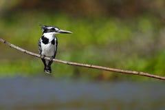 kenya kingfisherlake pied naivasha Royaltyfri Foto