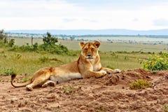 kenya lioness Royaltyfria Foton