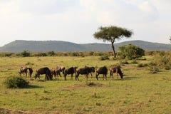 kenya mara masaiwildebeest Arkivbild