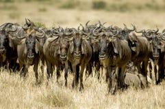 kenya mara masaiwildebeest Royaltyfri Bild