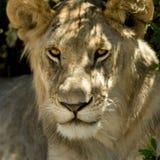 kenya Mara masajów lwa Zdjęcie Stock