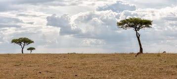 Kenya Masai Mara parkerar savannahen royaltyfria bilder