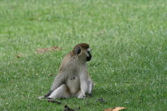 Kenya monkey Royalty Free Stock Images