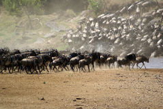 Kenya's Great Migration Royalty Free Stock Photography