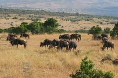 Kenya's Maasai Mara Animal Migration Stock Photos