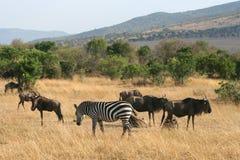 Kenya's Maasai Mara Animal Migration Stock Photography