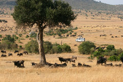 Kenya's Maasai Mara Animal Migration Stock Images