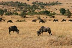 Kenya's Maasai Mara Animal Migration Royalty Free Stock Photography