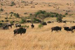 Kenya's Maasai Mara Animal Migration Royalty Free Stock Images