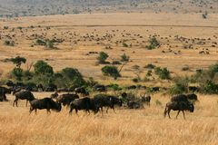 Kenya's Maasai Mara Animal Migration Royalty Free Stock Photography