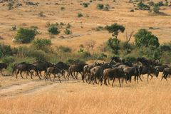 Kenya's Maasai Mara Animal Migration Stock Image