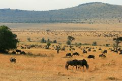 Kenya's Maasai Mara Animal Migration Royalty Free Stock Images