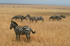 Kenya's Maasai Mara Animal Migration Royalty Free Stock Photos
