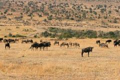 Kenya's Maasai Mara Animal Migration Stock Photo