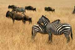 Kenya's Maasai Mara Animal Migration Stock Images