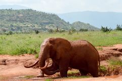 Kenya`s red elephant Royalty Free Stock Photo