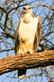 orła Kenya samburu Zdjęcie Stock