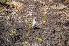 Kenya sparrow sitting on the ground stock photo