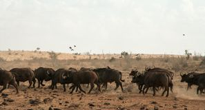Kenya, Tsavo East - Buffalo in their reserve stock photos