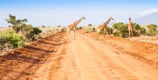 Free Giraffe in Kenya Stock Photo