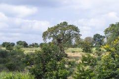 Kenya vegetation Fotografering för Bildbyråer