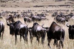 kenya wildebeest Fotografering för Bildbyråer
