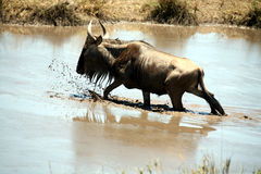 kenya wildebeest Arkivbild