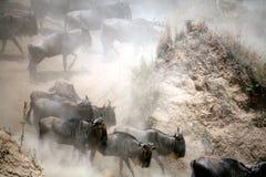 kenya wildebeest Royaltyfri Bild