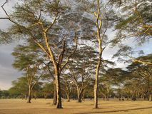 Kenyan Acacia in the afternoon Royalty Free Stock Image