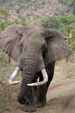 Kenyan-Elefant stockfotos