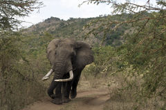 Kenyan Elephant Royalty Free Stock Photography