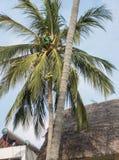 Kenyan gardener on palmtree Royalty Free Stock Photo