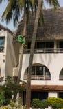 Kenyan gardener climbing down palmtree Royalty Free Stock Images