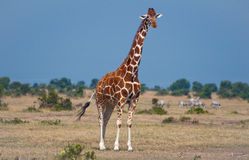 Kenyan Giraffe. Giraffe in from of our tent at the Sweetwaters Park in Kenya Royalty Free Stock Images