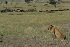 Kenyan-Löwe Stockfoto