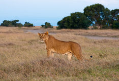 Kenyan Lion. Female Lions, Sweetwaters Game Reserve in Kenya Royalty Free Stock Image
