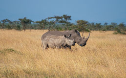 Kenyan Rhinos. White Rhinos, Sweetwaters Game Reserve in Kenya Royalty Free Stock Image