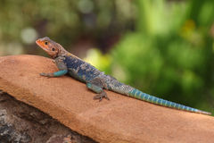 Kenyan Rock Agama (Agama lionotus) lizard Royalty Free Stock Photo