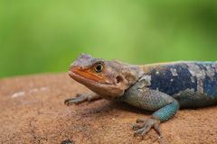 Kenyan Rock Agama (Agama lionotus) lizard Royalty Free Stock Photography