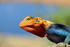 Kenyan Rock Agama close-up picture. A close-up picture of the Kenyan Rock Agama (lat. Agama Lionotus) with blurred background royalty free stock photos