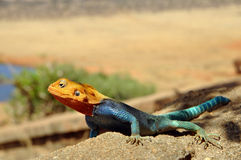 Kenyan Rock Agama close-up picture. A close-up picture of the Kenyan Rock Agama (lat. Agama Lionotus) with blurred background stock photography