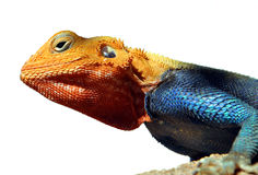 Kenyan Rock Agama close-up picture. A close-up picture of the Kenyan Rock Agama (lat. Agama Lionotus) with isolated background stock photography